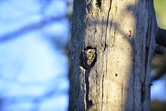 _DSC1337 (EYoung84) Tags: ontario canada abstract macro texture nature animal outdoor ottawa depthoffield owl screech mudlake easternscreech greymorph
