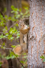 Crazy Squirrel (Kurayba) Tags: park ca red canada macro tree creek crazy high squirrel edmonton pentax bokeh sigma apo full iso alberta 400 frame tele ravine f56 mode ff 4k k1 400mm whitemud