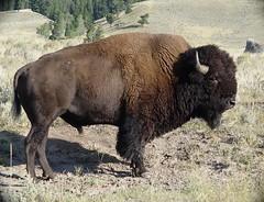 Bison (karenmelody) Tags: bison bisonbison