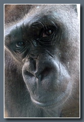 Schau mir in die Augen ... (p_jp55 (Jean-Paul)) Tags: animal germany deutschland zoo gorilla allemagne tiergarten tier saarland saarbrcken gorille saarlorlux sarre zoologicalgarden jardinzoologique saarbrckerzoo