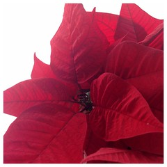 365_2016_7 (Trish P. - K1000 Gal) Tags: christmas red holiday plant color closeup poinsettia squareformat redleaves softlight iphone filteredlight iphone5 perfectlyclear 365grateful