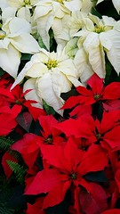Merry merries and fa la la las (armykat) Tags: flowers pennsylvania poinsettia poinsettias happyholidays merrychristmas longwoodgardens redandwhite kennettsquarepa natureycrap