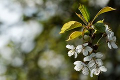 (Px4u by Team Cu29) Tags: frühling obst kirsche kirschblüte obstbaum prunuscerasus rosengewächs