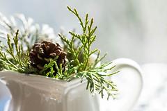 Winter's Bounty (Captured Heart) Tags: green evergreen winterwhite juniper
