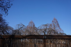 Trees in winter: weeping cherry and dawn redwoods, US National Arboretum (jmlwinder) Tags: trees fence usna usnationalarboretum dawnredwood metasequoiaglyptostroboides inwinter weepingcherrytrees nationalherbgarden beautyviews 19jan2016