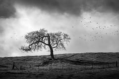 Mystery Tree (StefanB) Tags: california sky bw tree monochrome birds mystery clouds outdoor sanjose geotag treescape 2016 em5 sanfeliperoad 45200mm