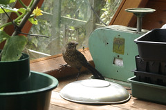 Thrush in the potting shed (Janspen) Tags: thrush pottingshed