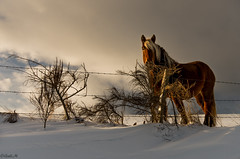 Horse with no name ... ;) (gael63) Tags: winter horse france animal cheval hiver neige auvergne