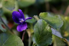 Spring violet (ambrasimonetti) Tags: del purple violet 9 february viola pensiero 2016 violetta mammola viollla