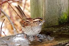 White-throated Sparrow (Lois McNaught) Tags: winter macro bird nature outdoor wildlife sparrow avian royalbotanicalgardens whitethroatedsparrow hamiltonontariocanada