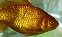 Gold..... (setoboonhong) Tags: ballet fish nature water up by gold aquarium golden close goldfish scales fins swiming spandau