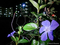 Vinca major (Shiori Hosomi) Tags: flowers plants japan night tokyo nocturnal january  apocynaceae  hoya 2016    gentianales noctuary   flowersinthenight  noctivagant 23