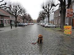 2016-0101 (schuttermajoor) Tags: nederland hond che maas eijsden 2016 airedaleterrier ommetjenederland
