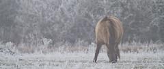 Tableau... (aracobis) Tags: panorama cheval lorraine meuse tarpan konik lachausse