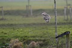 _HNS7135 Velduil : Hibou marais : Asio flammeus : Sumpfohreule : Short-eared Owl