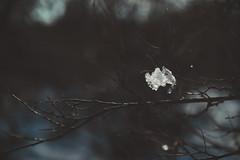 Winter (Hummingdust) Tags: trees winter snow tree ice nature forest outside outdoors utah nikon focus branch bokeh beautifullight naturallight 365 tamron f28 ogden 2470 365days utahphotographer nikondf