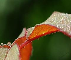 Bejewelled (Pamela Jay) Tags: droplets australia nsw raindrops jewels roseleaves bejewelled canon60d pamelajay