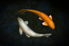 Yin and Yang (ShutterJack) Tags: lake fish swim circle gold pond nikon yang koi opposites yin lowkey compliments jameshale jimhale shutterjack