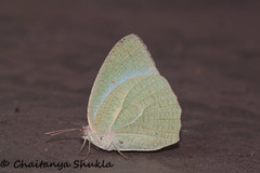 IMG_9631 (Chaitanya Shukla) Tags: india macro butterfly maharashtra pune in commonemmigrant