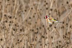 Chardonneret lgant - Carduelis carduelis - European Goldfinch - Putter (tchikedou) Tags: bird nature oiseau birdwatcher putter cardueliscarduelis europeangoldfinch chardonneret chardonneretlgant oostmaarland