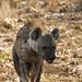 Hyena Stalking