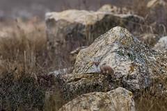 Mostela (Aicbon) Tags: wild naturaleza verde nature animal mammal wildlife zaragoza weasel laguna teruel bello gallocanta losojos tornos mustelanivalis leastweasel comadreja mustela lascuerlas mostela