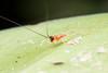 Tettigoniidae. Trigonidium sp. (David Ball.) Tags: singapore tettigoniidae trigonidium canon270ex