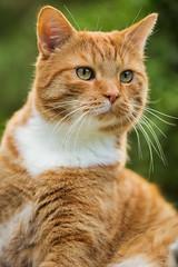 First Green (patrickmai875) Tags: red orange green rot cat canon garden outdoor shorthair meow british katze garten f28 6d 70200mm britisch kurzhaar