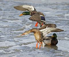 Mallard pair landing on ice (Mawrter) Tags: two sun sunlight motion bird feet nature birds animal canon outdoors duck newjersey wings afternoon action outdoor pair birding wing descent band nj ducks landing bands arrive mallard descend arrival waterfowl forsythe mallards arriving banded forsythenwr twoanimals specanimal mallardpair outspread oceanville bandedmallard mallardlanding
