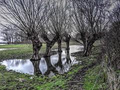Uiterwaarden bij Asselt   --HDR-- (Frank Berbers) Tags: trees landscape bomen landschaft bäume hdr highdynamicrange landschap uiterwaarden floodplains limburgslandschap middenlimburg asselt überschwemmungsgebiet nikoncoolpixp610 stroomgebiedvandemaas riverbeckenvondermaas riverbasinofthemeuze
