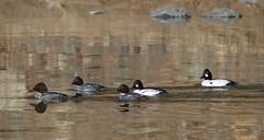 common goldeneyes (mikewiz) Tags: birds bc ducks kettle forks commongoldeneye bucephalaclangula rivergrand