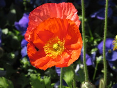 The focus is on the poppy. (vickilw) Tags: orange flower poppy week31 7daysofshooting focusfriday beginningwith…f