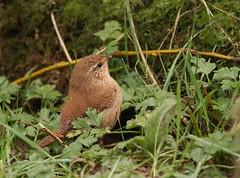 Wren-6540 (Kulama) Tags: winter nature birds woods westsussex wildlife wren warnham