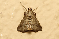 Lepidoptera (Moth sp) - South Africa (Nick Dean1) Tags: insect southafrica moth insects lepidoptera arthropods arthropoda krugernationalpark arthropod hexapod insecta lowersabie hexapods hexapoda