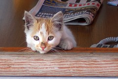 Turkey (Istanbul) Dirty nose !! (ustung) Tags: animal cat turkey kitten pretty kodak indoor istanbul