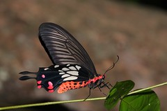 Common Clubtail (Atrophaneura coon) (moloch05) Tags: malaysia taman negara