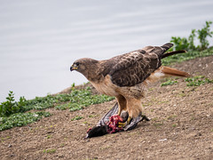 Red-Tailed Hawk Eating Coot at Shoreline Park (donjd2) Tags: eating shorelinepark coot prey predator redtailedhawk mountainview california unitedstates us nature