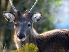 Portrait d'un daguet (Patrice Baud) Tags: portrait nikon deer reddeer cervus daguet d5100