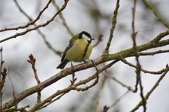 Parus Major (ny.erik) Tags: bird major skne nikon tit sweden tamron greattit parus talgoxe d5200 150600