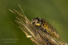 Buprestid (Sean McCann (ibycter.com)) Tags: buprestidae
