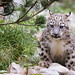 Sitting snow leopard cub