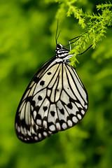 Papillons en Libert 2016 - Photo 35 (Le Chibouki frustr) Tags: macro butterfly insect nikon dof montral bokeh montreal butterflies insects fullframe fx botanicalgarden pdc jardinbotanique homa montrealbotanicalgarden hochelagamaisonneuve closeupfilter closeuplens jardinbotaniquedemontral d610 610 macrophotographie butterfliesgofree papillonsenlibert tamronspaf90mmf28dimacro nikond610 papillonsenlibert2016 butterfliesgofree2016 siximevisite sixthvisit