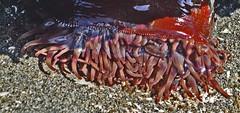 rb13 (echudler) Tags: ocean sea beach water pool tide sound urchin puget invertebrate