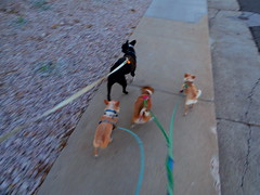 Walking four dogs (EllenJo) Tags: arizona dog pet pets chihuahua simon dogs bostonterrier four mainstreet pentax 4 ivan az afterwork hazel digitalcamera floyd aroundtown stroll dogwalk verdevalley clarkdale april12 chihuahuamix 89a smalltownlife chiweenie ellenjo ellenjoroberts springtimeinaz pentaxqs1