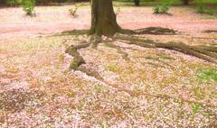 A carpet of flower petals Japanese sakura cherry blossom 2016 spring (Keda Rake) Tags: pink plant flower tree japan cherry carpet japanese petals spring blossom dream petal vision fantasy bloom  cherryblossom  sakura phantom   2016