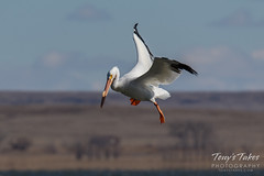American White Pelican fishing sequence - 1 of 20