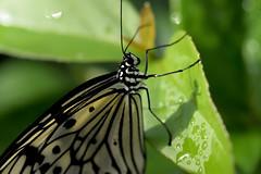 Papillons en Libert 2016 - Photo 32 (Le Chibouki frustr) Tags: macro butterfly insect nikon dof montral bokeh montreal butterflies insects fullframe fx botanicalgarden pdc jardinbotanique homa montrealbotanicalgarden hochelagamaisonneuve closeupfilter closeuplens jardinbotaniquedemontral d610 610 macrophotographie butterfliesgofree papillonsenlibert tamronspaf90mmf28dimacro nikond610 papillonsenlibert2016 butterfliesgofree2016 siximevisite sixthvisit