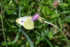 Pieris brassicae (Linnaeus, 1758) (Jess Tizn Taracido) Tags: lepidoptera pieridae pierinae pierisbrassicae papilionoidea pierini
