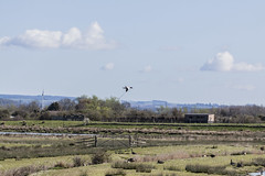 Avocet (32) (Mal.Durbin Photography) Tags: nature birds newport naturereserve newportwetlands maldurbin goldcliffnewport