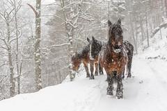 """Encuentro bajo la nieve"" (javidurojimenez) Tags: espaa horse caballo spain larioja parquenatural cebollera"